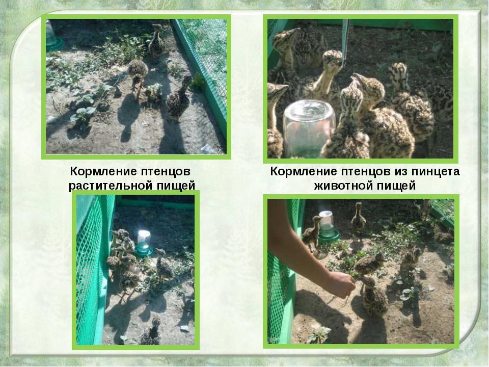 Кормление птенцов из пинцета животной пищей Кормление птенцов растительной п...