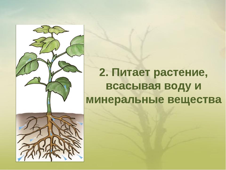 2. Питает растение, всасывая воду и минеральные вещества