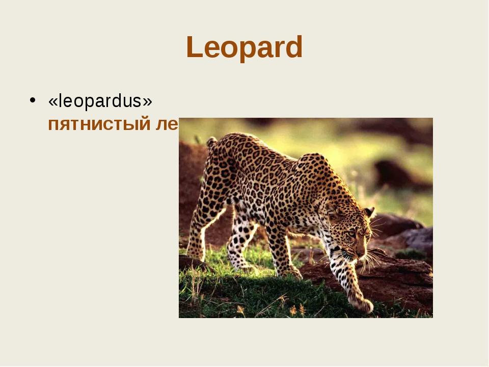 Leopard «leopardus» пятнистый лев