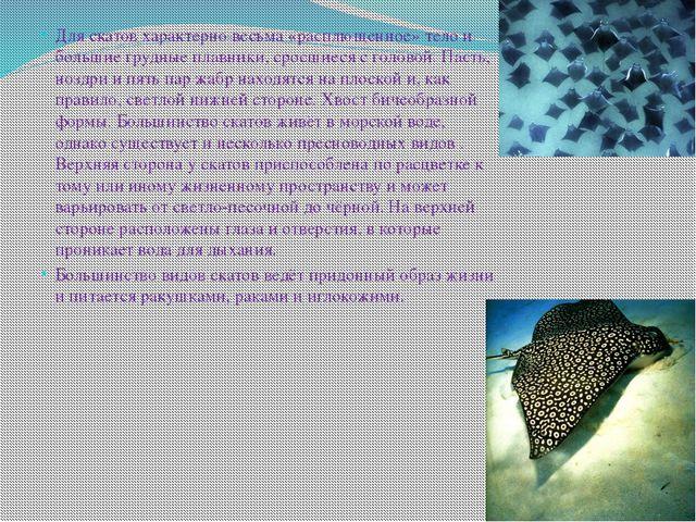 Для скатов характерно весьма «расплющенное» тело и большие грудные плавники,...