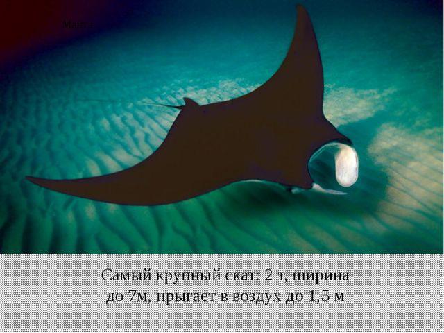 Самый крупный скат: 2 т, ширина до 7м, прыгает в воздух до 1,5 м Манта