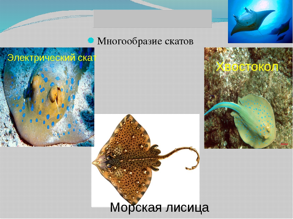 Многообразие скатов Хвостокол Морская лисица Электрический скат