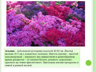 Азалия – небольшой кустарник высотой 40-50 см. Листья мелкие (5-7 см.), кожис