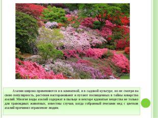 Азалии широко применяются и в комнатной, и в садовой культуре, но не смотря н