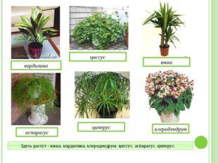 Здесь растут : юкка, кордилина, клеродендрум, циссус, аспарагус, циперус. кор