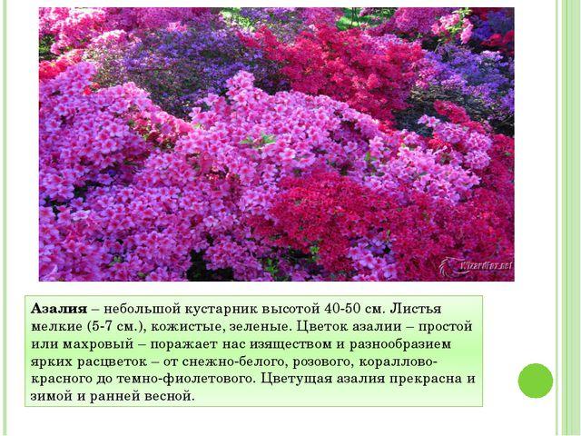 Азалия – небольшой кустарник высотой 40-50 см. Листья мелкие (5-7 см.), кожис...