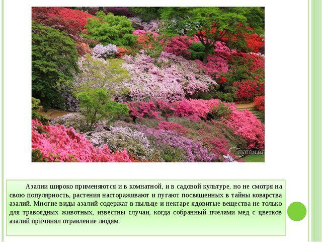 Азалии широко применяются и в комнатной, и в садовой культуре, но не смотря н...