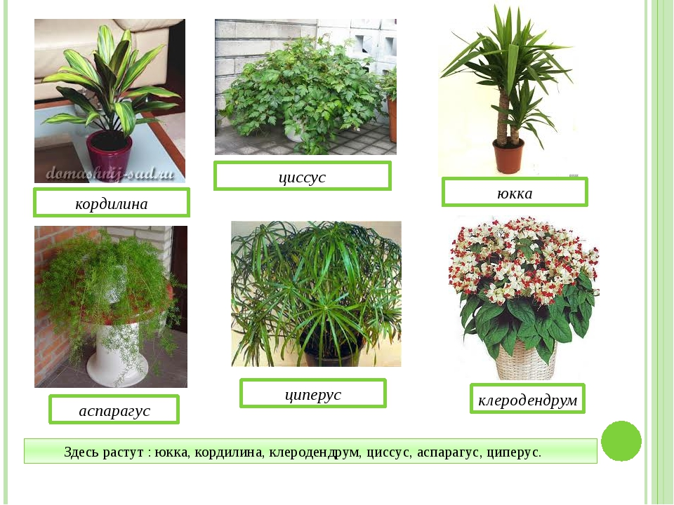 Здесь растут : юкка, кордилина, клеродендрум, циссус, аспарагус, циперус. кор...