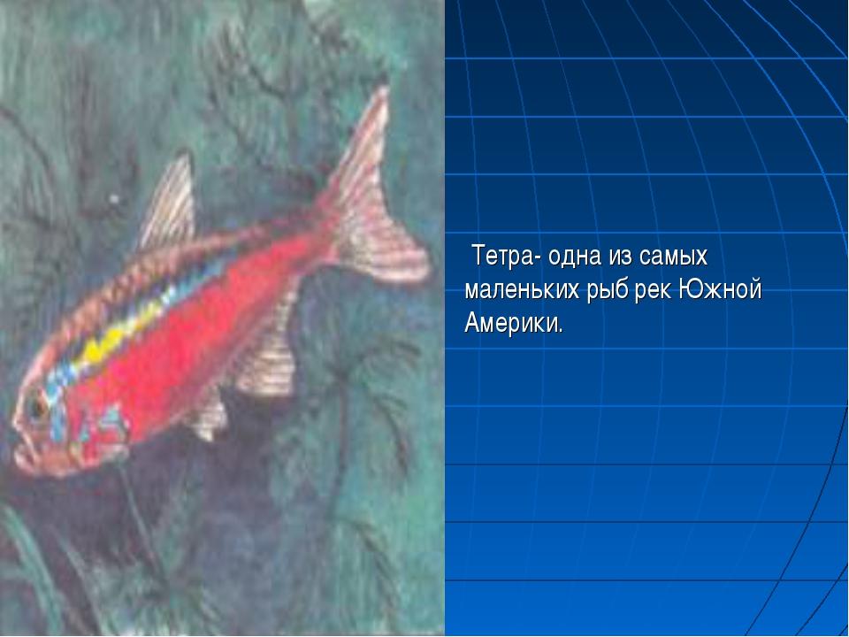 Тетра- одна из самых маленьких рыб рек Южной Америки.