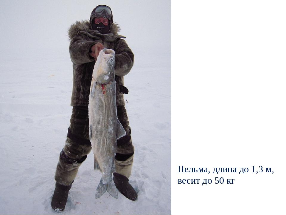 Нельма, длина до 1,3 м, весит до 50 кг