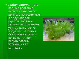 Гидатофиты – это водные растения, целиком или почти целиком погруженные в вод