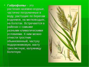 Гидрофиты – это растения наземно-водные, частично погруженные в воду, растущи