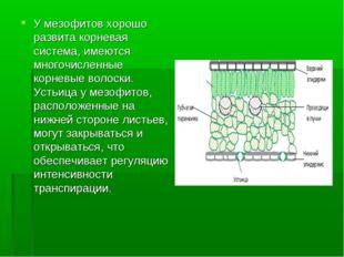 У мезофитов хорошо развита корневая система, имеются многочисленные корневые