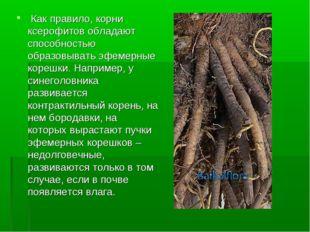 Как правило, корни ксерофитов обладают способностью образовывать эфемерные к
