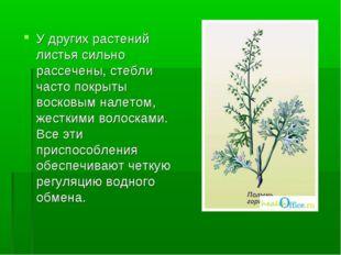 У других растений листья сильно рассечены, стебли часто покрыты восковым нале