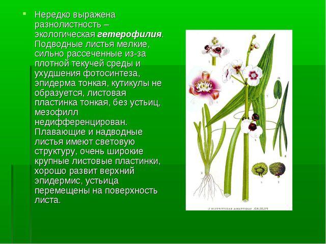 Нередко выражена разнолистность – экологическая гетерофилия. Подводные листья...