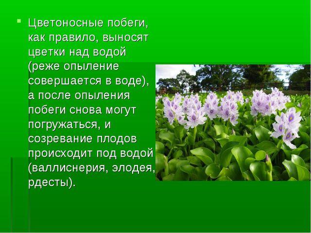 Цветоносные побеги, как правило, выносят цветки над водой (реже опыление сове...