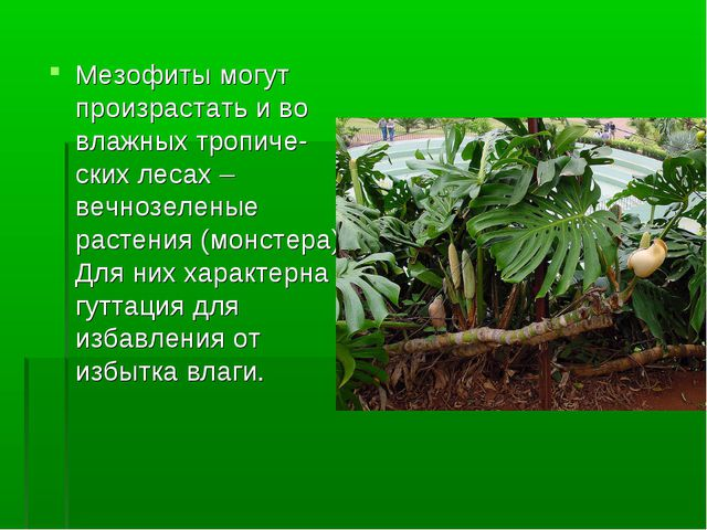 Мезофиты могут произрастать и во влажных тропиче-ских лесах – вечнозеленые ра...