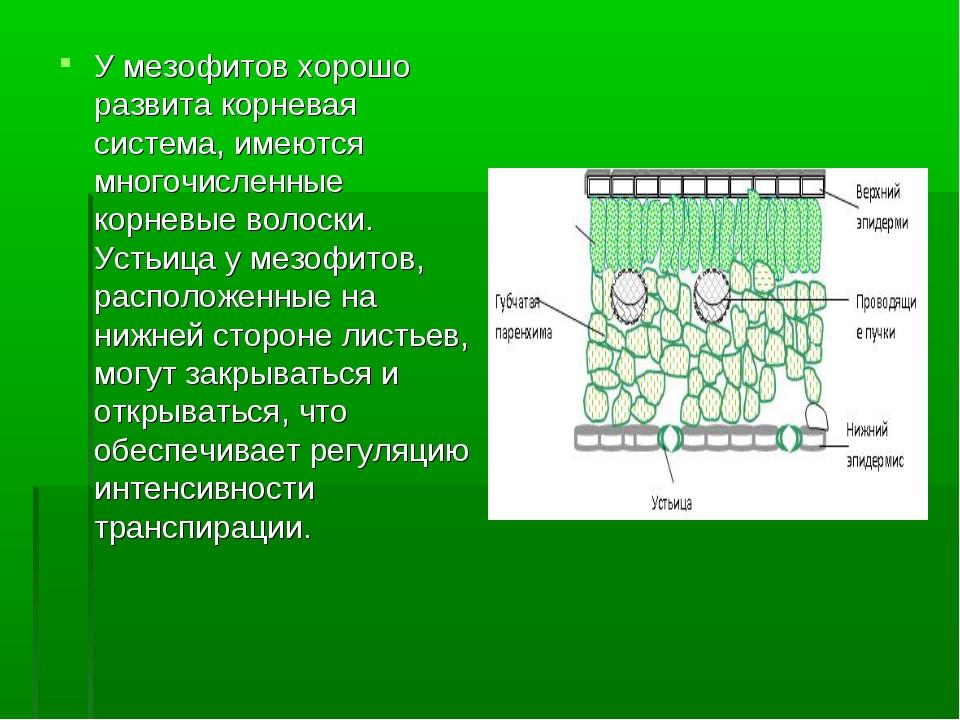 У мезофитов хорошо развита корневая система, имеются многочисленные корневые...