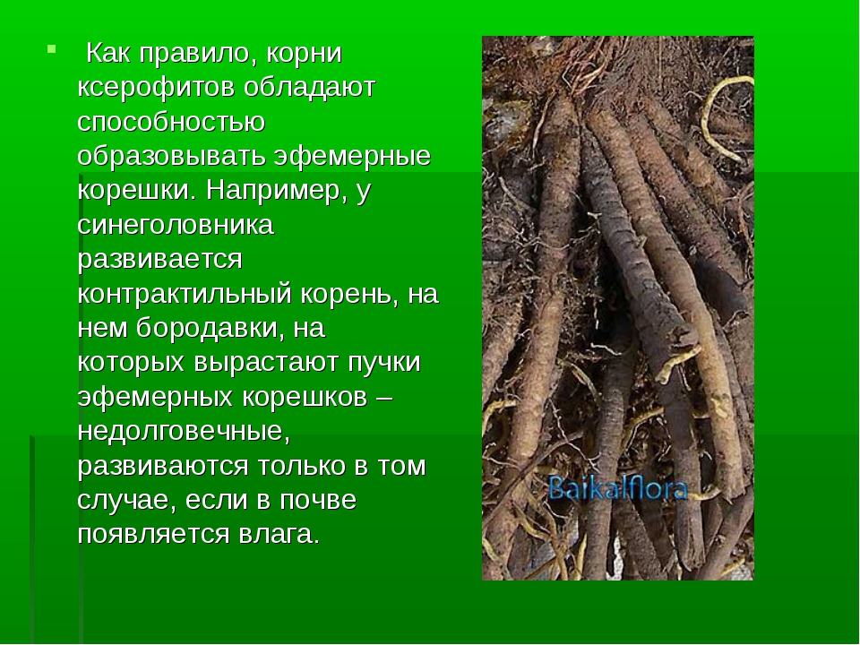 Как правило, корни ксерофитов обладают способностью образовывать эфемерные к...
