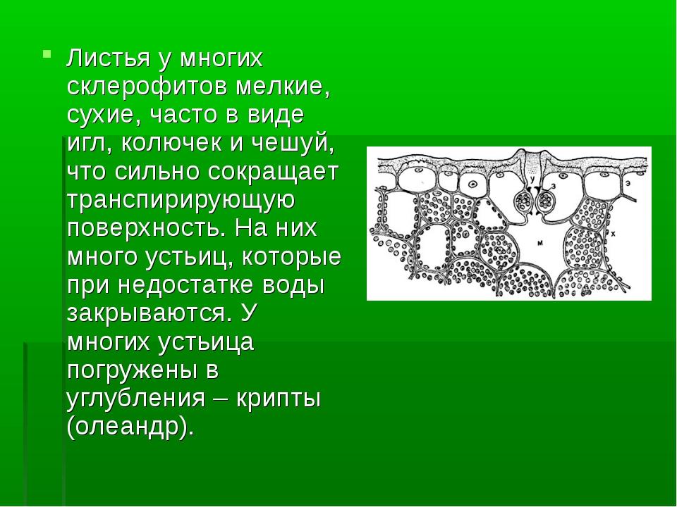 Листья у многих склерофитов мелкие, сухие, часто в виде игл, колючек и чешуй,...