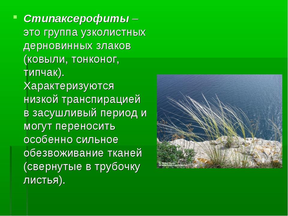 Стипаксерофиты – это группа узколистных дерновинных злаков (ковыли, тонконог,...