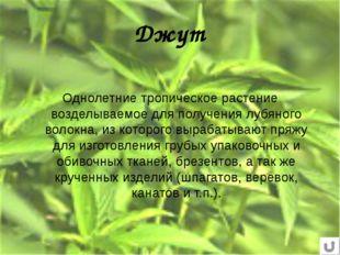 Джут Однолетние тропическое растение возделываемое для получения лубяного вол