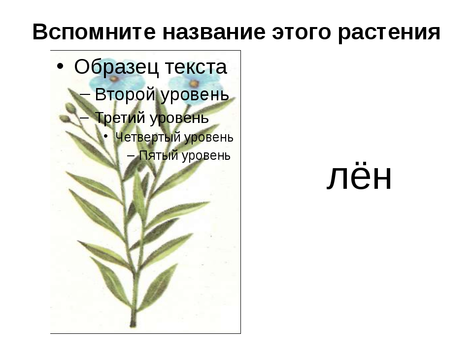 Вспомните название этого растения лён
