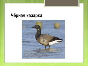 Чёрная казарка