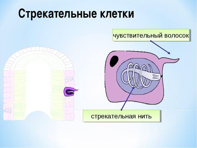 Стрекательные клетки чувствительный волосок стрекательная нить