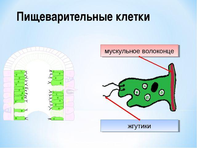 Пищеварительные клетки