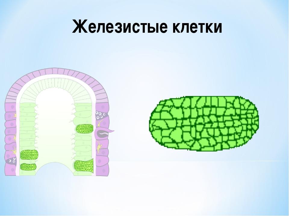 Железистые клетки