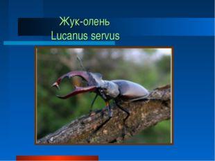 Жук-олень Lucanus servus