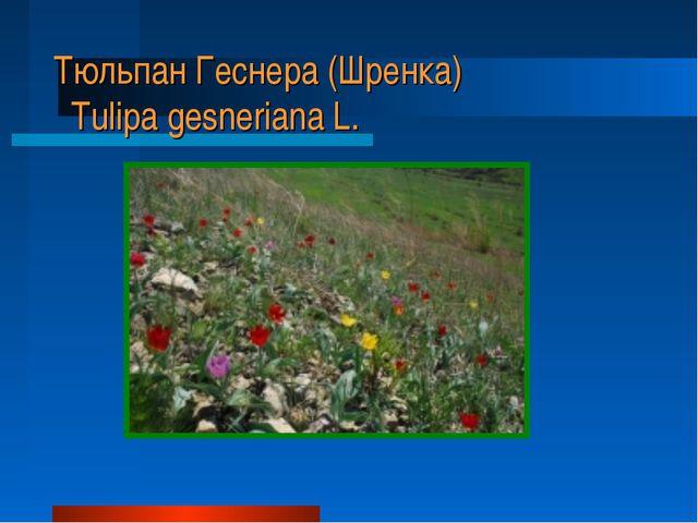 Тюльпан Геснера (Шренка) Tulipa gesneriana L.