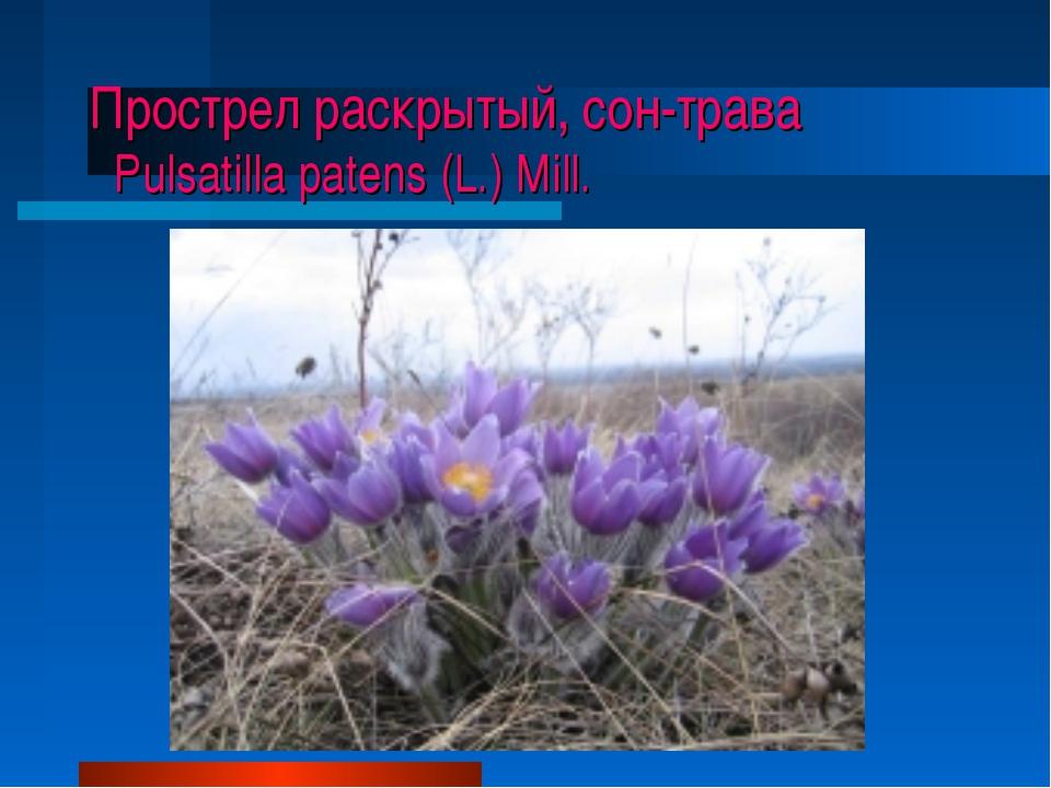Прострел раскрытый, сон-трава Pulsatilla patens (L.) Mill.