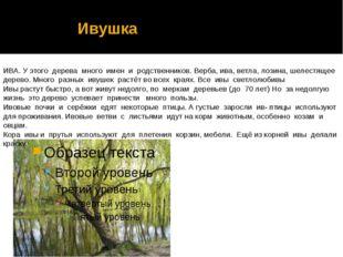 Ивушка ИВА. У этого дерева много имен и родственников. Верба, ива, ветла, ло