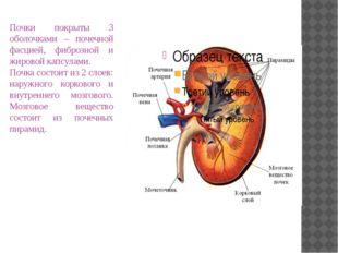 Почки покрыты 3 оболочками – почечной фасцией, фиброзной и жировой капсулами