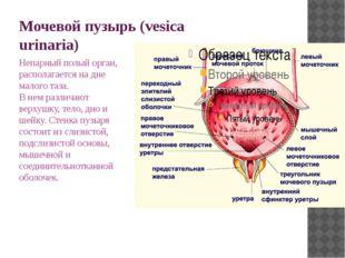 Мочевой пузырь (vesica urinaria) Непарный полый орган, располагается на дне м