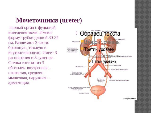 Мочеточники (ureter) парный орган с функцией выведения мочи. Имеют форму труб...