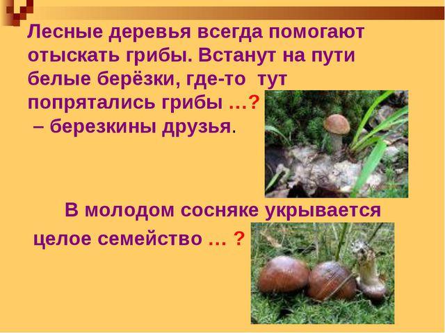 Лесные деревья всегда помогают отыскать грибы. Встанут на пути белые берёзки,...