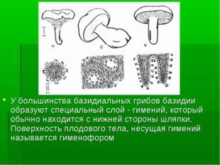 У большинства базидиальных грибов базидии образуют специальный слой - гимений