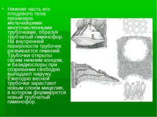 Нижняя часть его плодового тела пронизана мельчайшими многочисленными трубочк