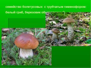 семейство болетусовых с трубчатым гименофором: белый гриб, березовик обыкнове