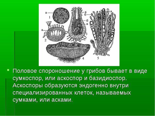 Половое спороношение у грибов бывает в виде сумкоспор, или аскоспор и базидио...