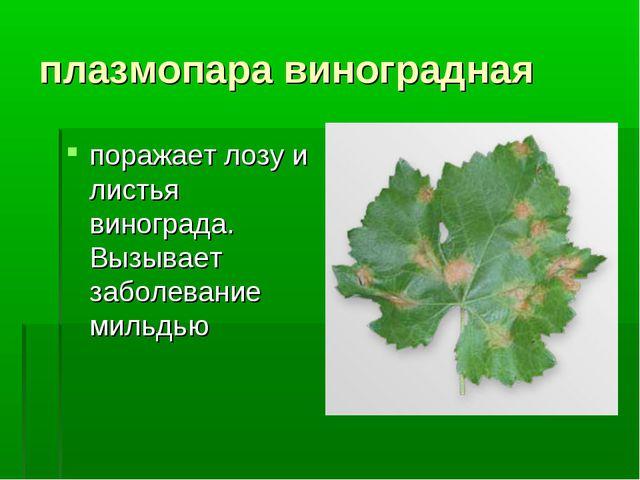 плазмопара виноградная поражает лозу и листья винограда. Вызывает заболевание...