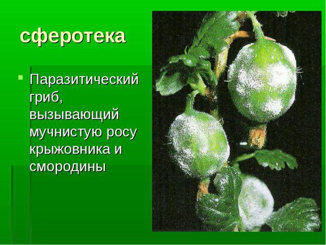 сферотека Паразитический гриб, вызывающий мучнистую росу крыжовника и смородины