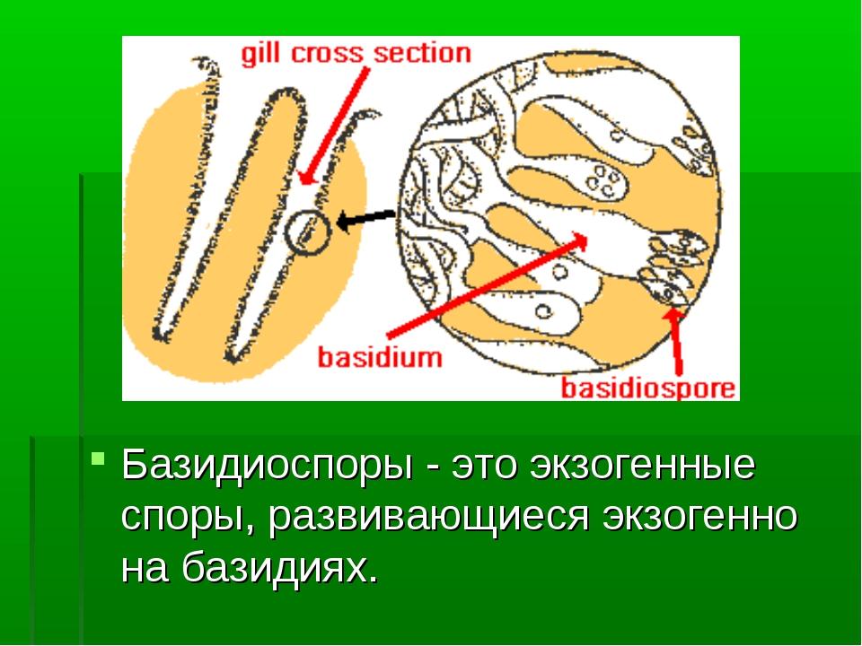 Базидиоспоры - это экзогенные споры, развивающиеся экзогенно на базидиях.
