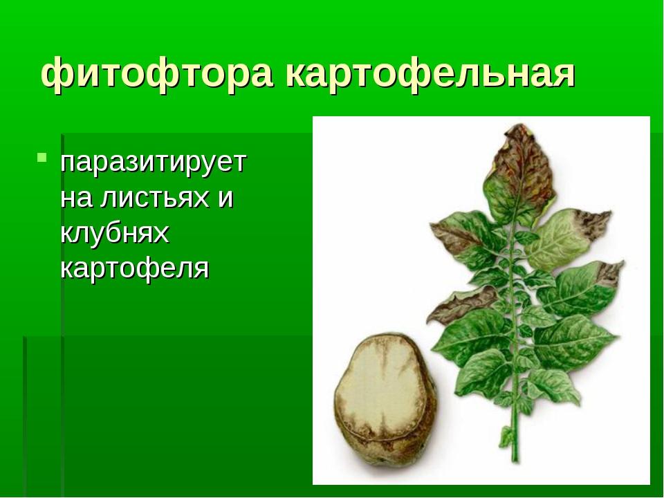 фитофтора картофельная паразитирует на листьях и клубнях картофеля