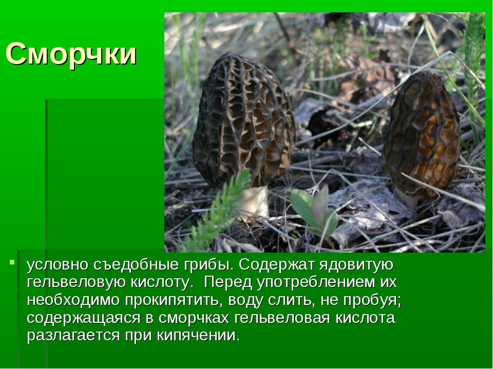 Сморчки условно съедобные грибы. Содержат ядовитую гельвеловую кислоту. Перед...