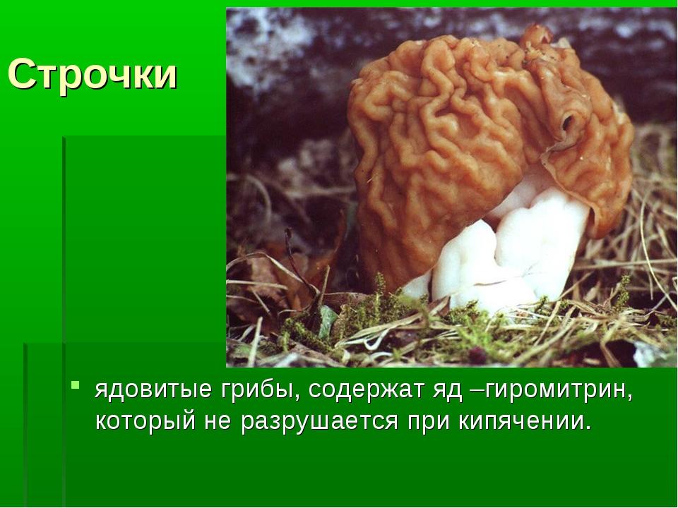 Строчки ядовитые грибы, содержат яд –гиромитрин, который не разрушается при к...